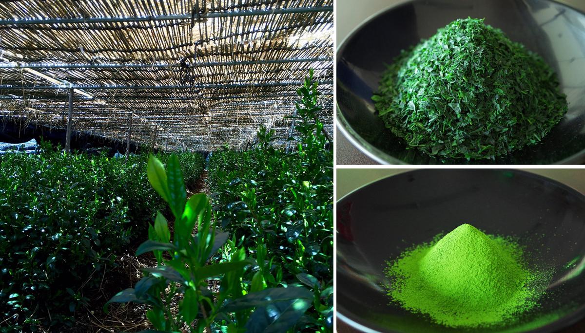 茶用品種「あさひ」茶園風景、碾茶、抹茶