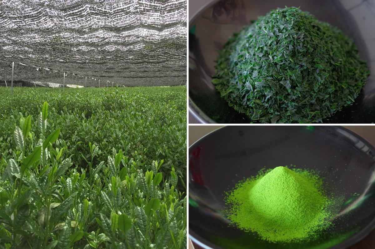 茶用品種「さみどり」茶園風景、碾茶、抹茶