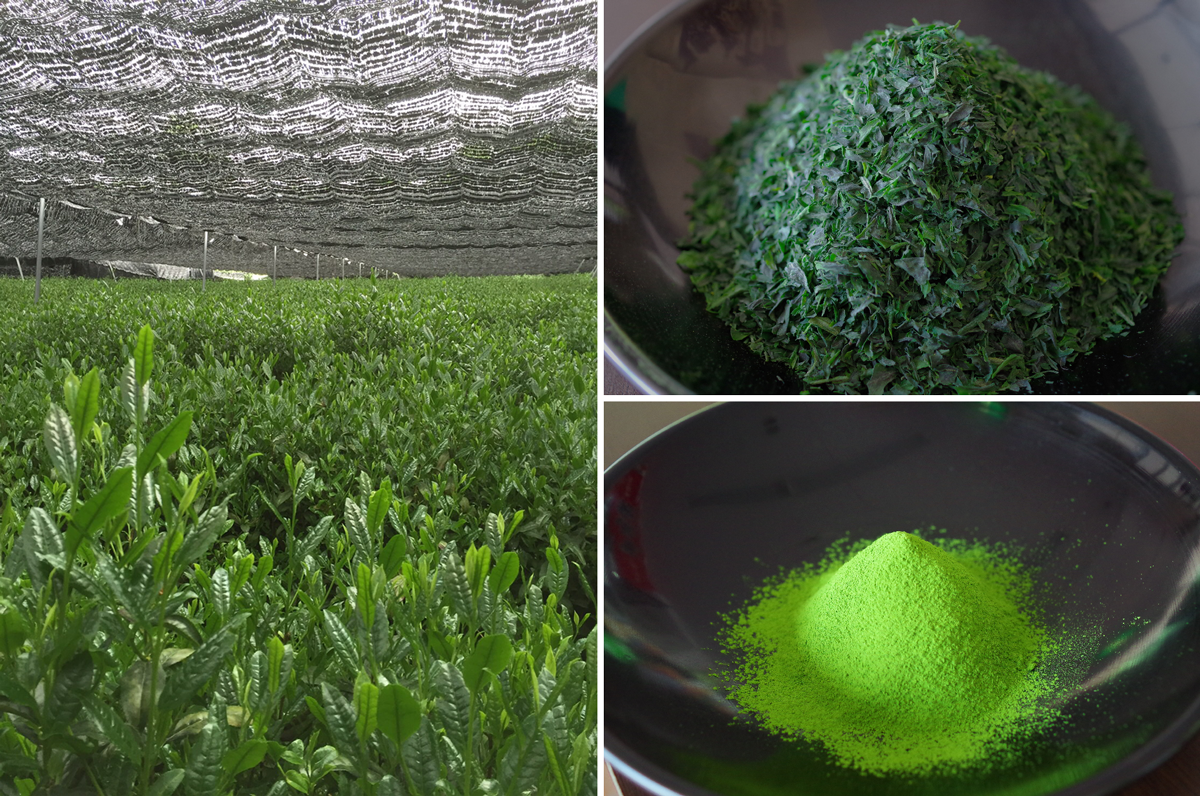 the pictures of tea farm, tencha, and matcha
